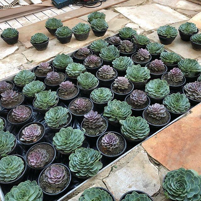 A mesa central iluminada com tampo de vidro acopla diversas suculentas no Jardim das Agaves, ambiente de Gabriela Gaunszer Kozlowski e Rejane Heiden para a CASACOR São Paulo 2018.