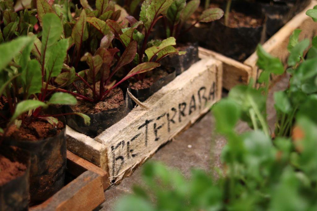 Plantio de beterrabas feita em pequenos vasos de madeira