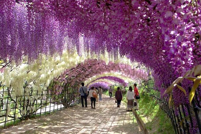 editado-wisteria-flower-tunnel-kawachi-fuji-garden-japan-9