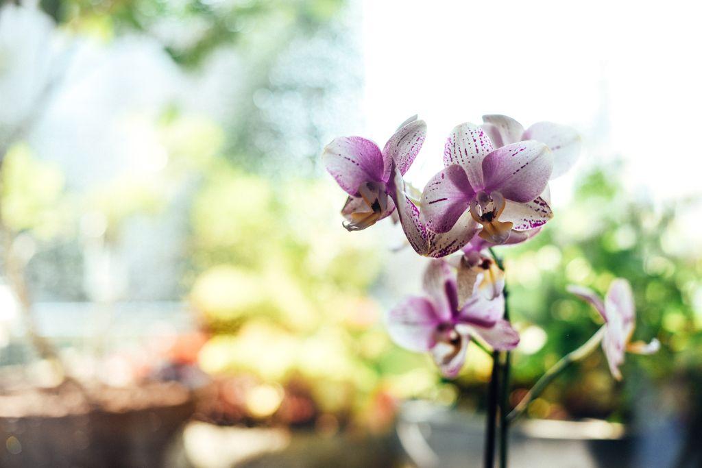 Como cultivar orquídea