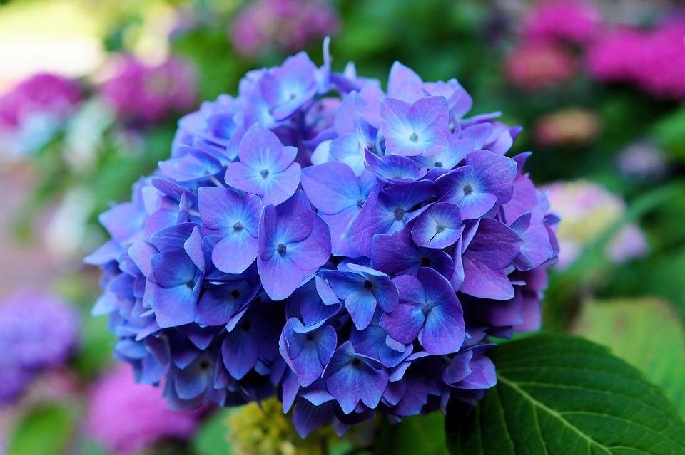 hortênsia é uma flor de inverno indicada para ambientes externos e internos