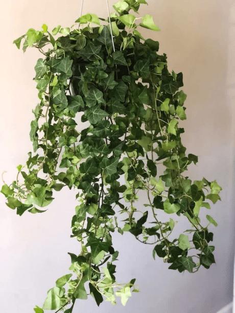 Ivy Inglesa (Hedera helix)