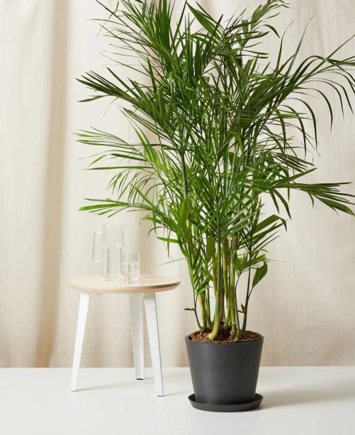 Palmeira Areca de Bambu