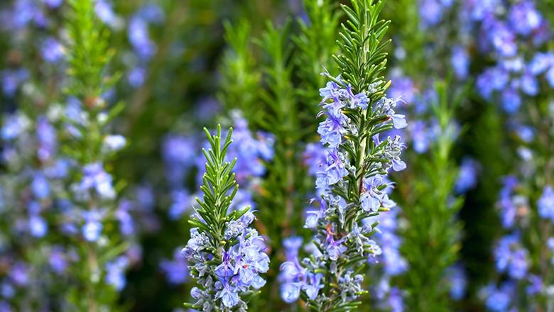 alecrim é uma das flores indicadas para o frio