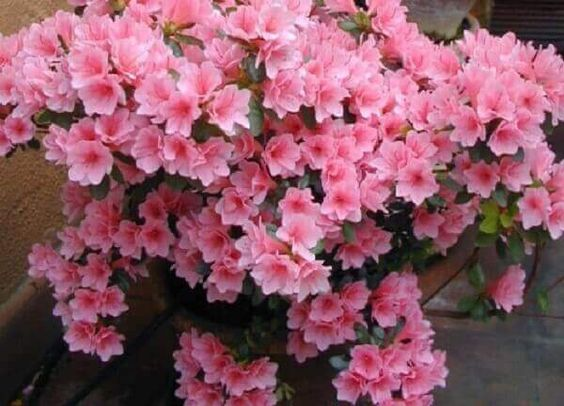 azaleia pink indicada para o frio