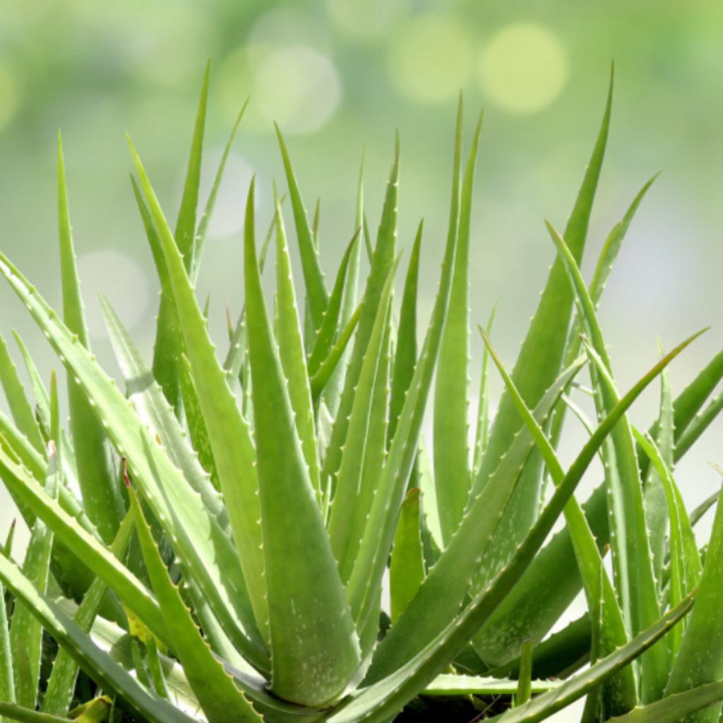 Babosa além do uso para cosméticos também é uma aposta de cultivo para o frio