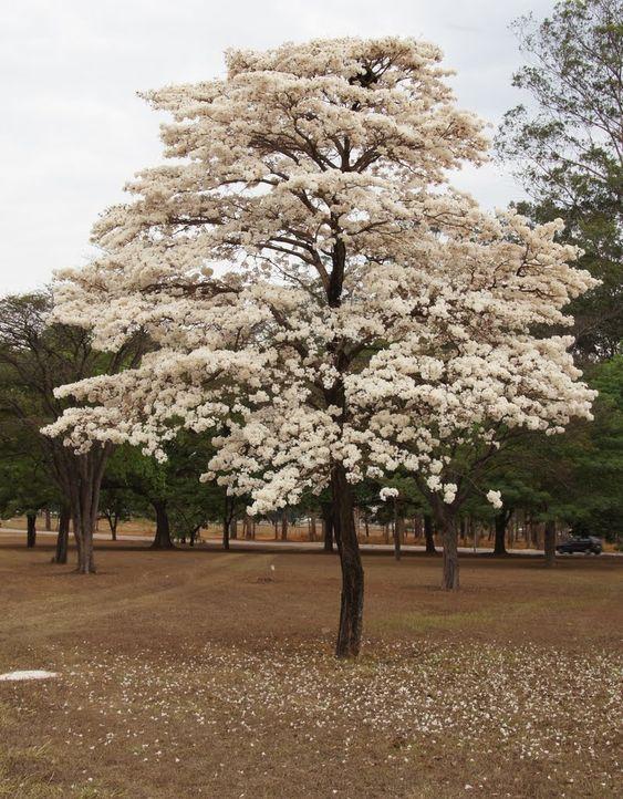 ipe-branco floresce no inverno