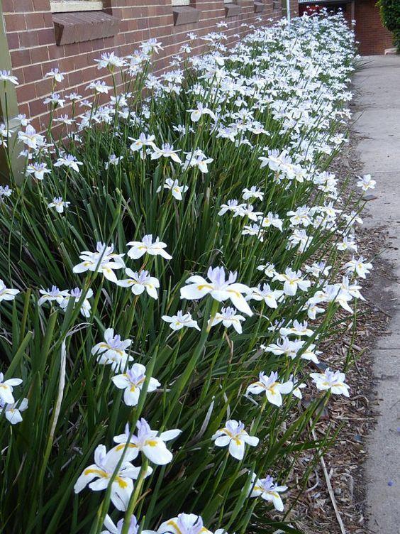 Moreia-branca é uma flor indicada para o frio pois precisa de pouca água