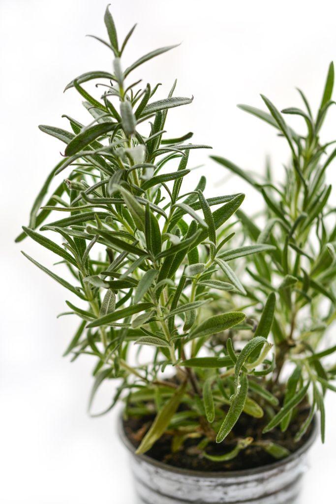 alecrim é uma das plantas para horta