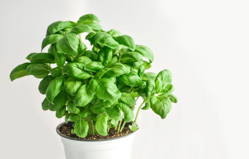 Manjericão é uma das plantas para horta